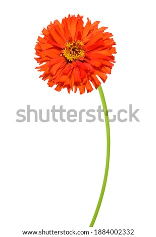 A red blooming zinnia daisy branch with clipping path