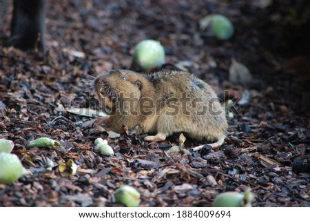 A cute little Botta's Pocket Gopher  in the backyard in San Rafael, CA.