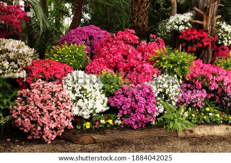 many flowering azalea bushes in different shades of pink, lilac, purple and white in the greenhouse of the botanical garden, very beautiful, spring mood Royalty-Free Stock Photo #1884042025