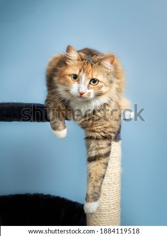 Cat perched on cat tree, front view. The cat is launching comfortable with one paw hanging. Concept for cats love perching or cats feel save high up. Selective focus on cat face. #1884119518