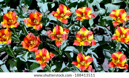 yellow-red tulips #188413511