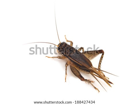 Field Cricket (Gryllus)   isolated on white background