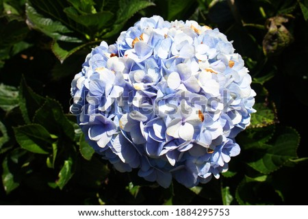 a beautiful hydrangea flower picture