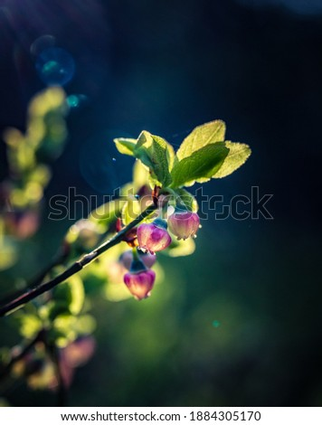 Beautiful pink blueberry flowers in spring. Natural spring scenery in forest. Sunny day, shallow focus. Woodland scenery of Northern Europe with wild berries. Royalty-Free Stock Photo #1884305170