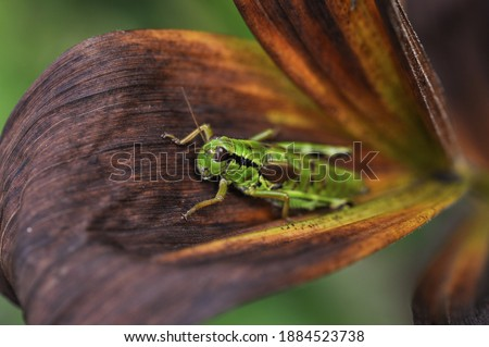 Macro picture of a green grasshopper on a wilted leaf