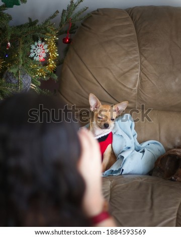 Chihuahua Dog getting his photo during Christmas Holiday