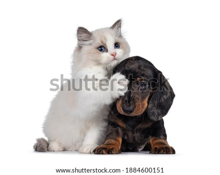 Cute Ragdoll cat kitten and Dachshund aka teckel dog pup, playing together facing front. Looking towards camera. Isolated on white background. Royalty-Free Stock Photo #1884600151