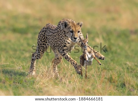 A cheetah and a young doe run in a grassy field