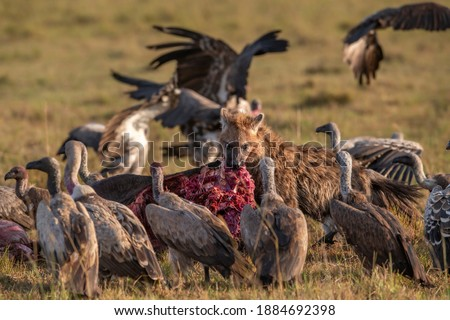 The hyena eats meat from the carcass lying on the ground and looks at the vultures gathered around who want to eat too