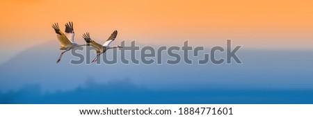 Siberian Crane, a rare protected bird Royalty-Free Stock Photo #1884771601