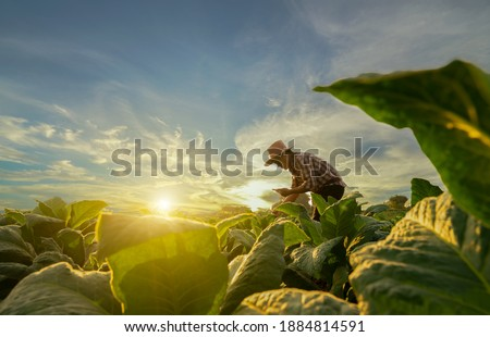 Agriculturist utilize the core data network in the Internet from the mobile to validate, test, and select the new crop method. Young farmers and tobacco farming Royalty-Free Stock Photo #1884814591