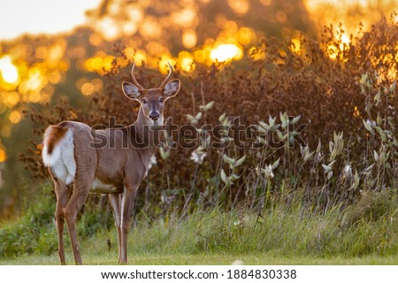White-tailed Buck (Odocoileus virginianus) backlit from the setting sun at evening. Selective focus, background blur and foreground blur.  Royalty-Free Stock Photo #1884830338