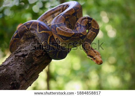 The boa constrictor (Boa constrictor), also called the red-tailed or the common boa on a branch in the middle of the forest. A large snake on a branch in the green of a bright forest. Royalty-Free Stock Photo #1884858817