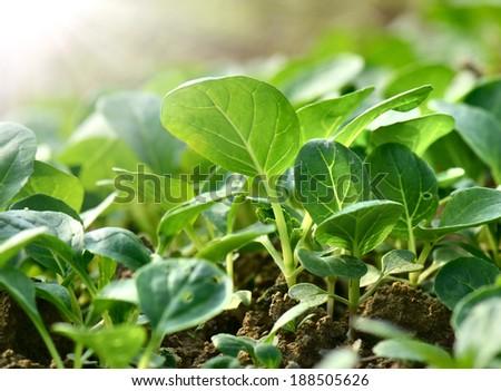 Close-up fields grow vegetables   #188505626