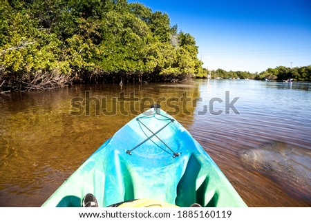 West Indian manatee Trichechus manatus swim in the Orange River near a kayak in Fort Myers, Florida.