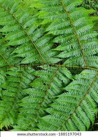 A fern  is a member of a group of vascular plants that reproduce via spores and have neither seeds nor flowers . They differ from mosses by being vascular. #1885197043