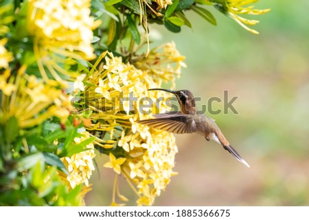A Little Hermit hummingbird feeding on a yellow Ixora hedge in a tropical garden. Wildlife in nature.