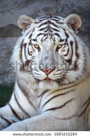 White tiger (Panthera tigris) looking straight into the camera, rare endangered species, close-up portrait headshot Royalty-Free Stock Photo #1885610284