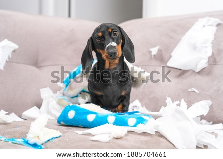 Mess dachshund puppy was left at home alone, started making a mess. Pet tore up furniture and chews home slipper of owner. Baby dog is sitting in the middle of chaos, gnawed clothes, looks piteously Royalty-Free Stock Photo #1885704661