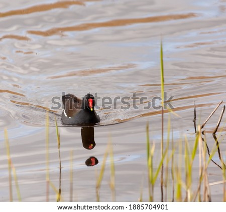 Male moorhen swimming towards you with a reflection.  Royalty-Free Stock Photo #1885704901