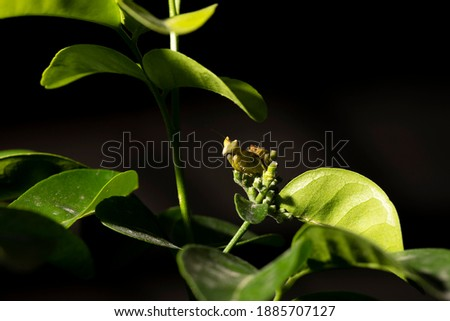 Macro picture of small insect (Grasshopper) standing on the green leaf
