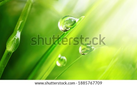 Beautiful large drops of fresh morning dew in juicy green grass macro. Drops pure transparent water spring summer in nature. A beautiful artistic image of beauty and purity of environment. Royalty-Free Stock Photo #1885767709