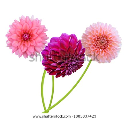 Beautiful blooming dahlia flower isolated white