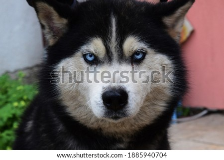 Picture of a Husky dog with blue eyes