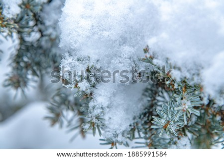 Close up macro photography of snow covered spruce tips, branches of a boreal forest tree in winter with frosty, cold tones and single frost flowers in shot.