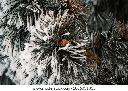 Pinecone in a long needle evergreen tree covered in ice and snow. Royalty-Free Stock Photo #1886031013