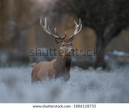 A Majestic wild beast Red Stag with antlers on a frosty golden hour morning  Royalty-Free Stock Photo #1886128735