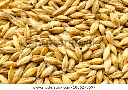 Background from barley grains, close-up, top view. Macro plan of a grain of barley. Texture, background, barley seeds close-up. Yellow barley grain for brewing beer. Grains texture, top view. Royalty-Free Stock Photo #1886275597