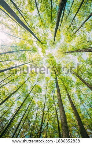 Looking Up In Beautiful Pine Deciduous Forest Trees Woods Canopy. Bottom View Wide Angle Background. Greenwood Forest. Trunks And Branches With Fresh Spring Lush. Royalty-Free Stock Photo #1886352838