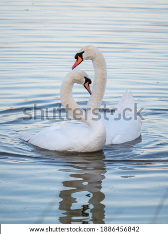 A pair of mute swans (Cygnus olor) on a lake in London, England. Royalty-Free Stock Photo #1886456842