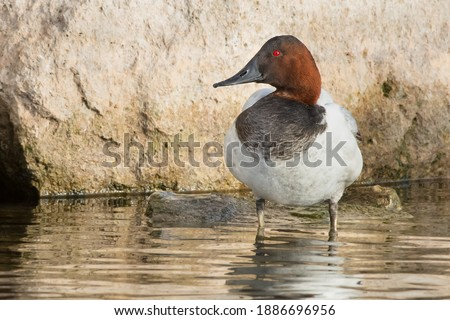 A male Canvasback is standing in the shallow water at the edge of a stone wall. Colonel Samuel Smith Park, Toronto, Ontario, Canada. Royalty-Free Stock Photo #1886696956