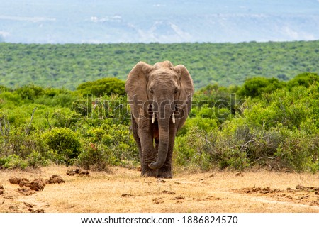 African Elephants moving through the African Savanna Royalty-Free Stock Photo #1886824570
