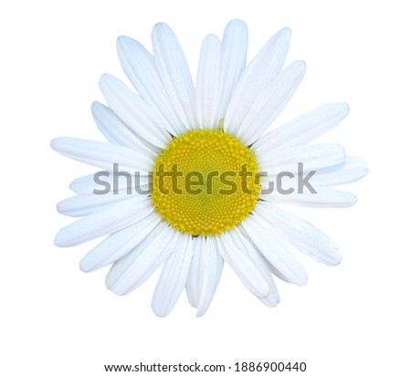 A blooming spring white chamomile flower