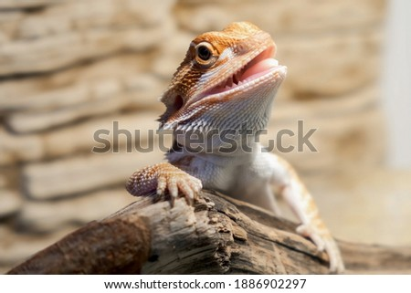 Cute baby of bearded agama dragon is sitting on log in his terrarium with open mouth. Exotic domestic animal, pet. The content of the lizard at home.