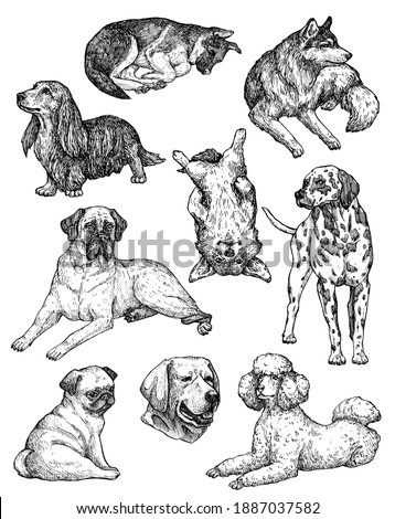 Set of hand-drawn ink dogs. Sketches of labrador, retriever, corgi, poodle, mastiff, husky, shepherd, dachshund, pug, dalmatian. Vintage animal illustration. Isolated on white