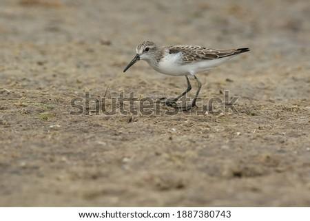 A Western Sandpiper is foraging on the algae covered beach. Presqu'ile Provincial Park, Brighton, Ontario, Canada. Royalty-Free Stock Photo #1887380743
