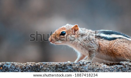 squirrel is scenting and searching the food, close up a front portion of the young squirrel body, black and white striped back, furry and cute pets, side view.