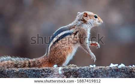 squirrel has a great scent, found the food, close up young squirrel sitting position, black and white striped back, furry and cute animals in the garden, Common species for Sri Lanka.