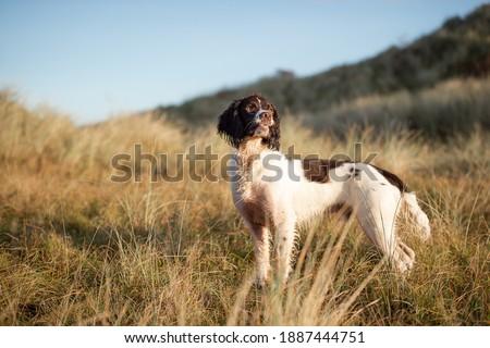 Springer Spaniel Dog at the park Royalty-Free Stock Photo #1887444751