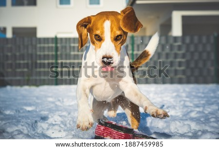 A picture of a fast Beagle hound running on the snow fetching a dog toy. Canine theme