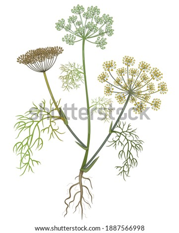 Fennel isolated hand drawn medical vector illustrations on white background.  Pharmaceutical, botanical foeniculum  plant hand drawn. Vector retro foenicum vilgare flower.  Royalty-Free Stock Photo #1887566998