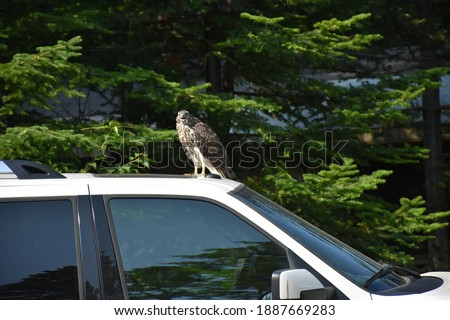 Juvenile eagle of hawk on car next to us, watching as we take pictures in Newfoundland at the Beothuk Campground