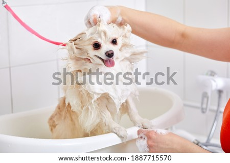 pet in grooming salon, domestic animal get shower, domestic animal get beauty procedures in beauty salon for dogs. in bath Royalty-Free Stock Photo #1887715570