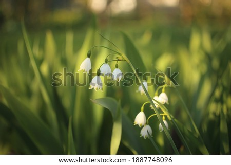Snowflake blooms a bell-shaped flower with green spots at the tip of the white petal downward. Royalty-Free Stock Photo #1887748096