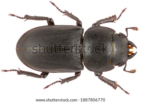 Dorcus parallelipipedus, the lesser stag beetle, is a species of stag beetle from the family Lucanidae. Dorsal view of lesser stag beetle isolated on white background. Royalty-Free Stock Photo #1887806770