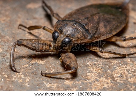 Adult Giant Water Bug of the Genus Lethocerus Royalty-Free Stock Photo #1887808420